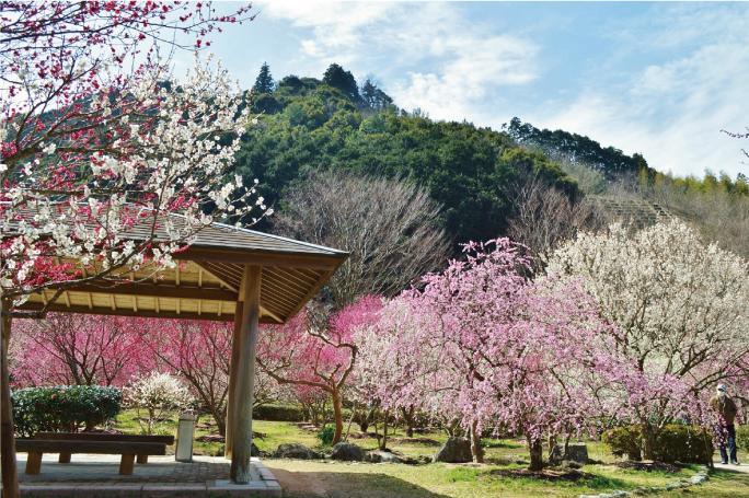 画像:桜(河津桜)