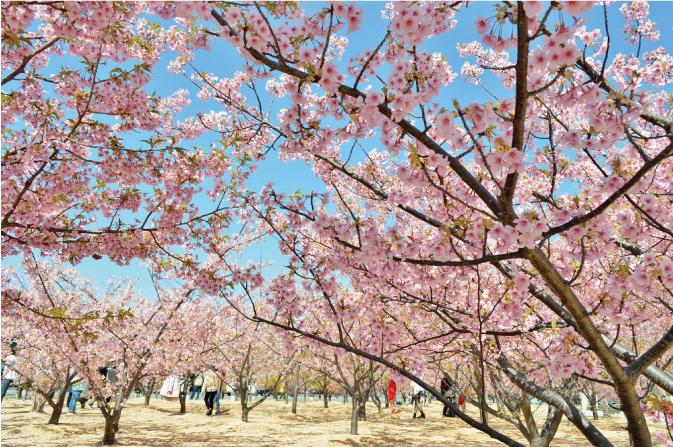 画像:桜(ミドリヨシノ)
