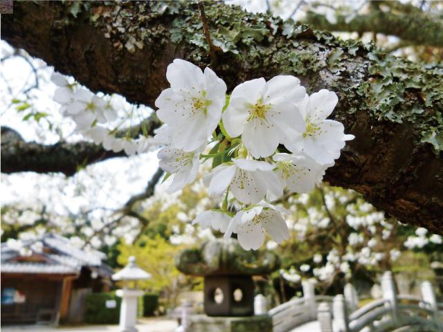 画像:桜(ソメイヨシノ)
