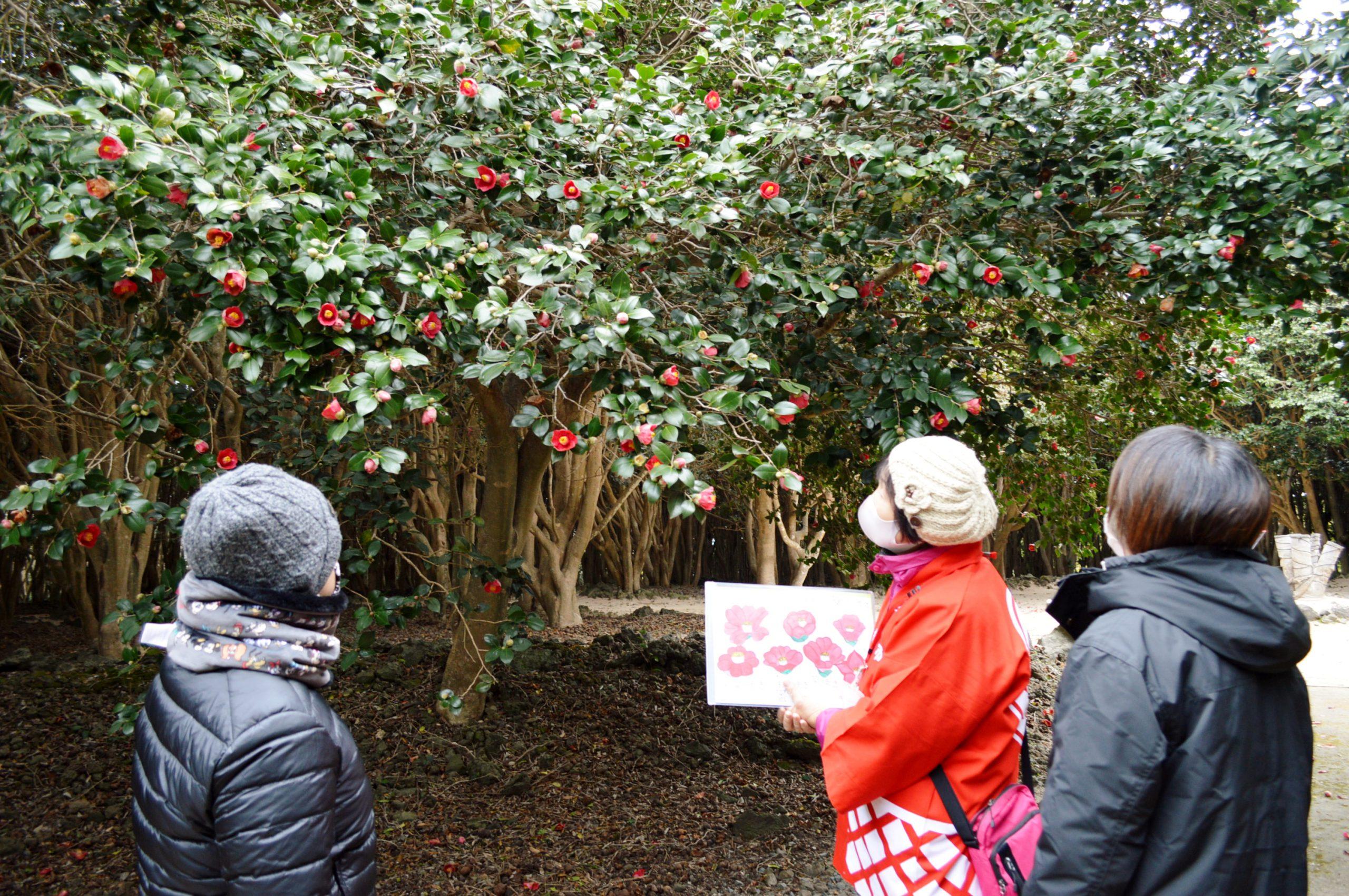 画像:笠山椿群生林「椿」開花宣言がありました!
